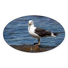 Kelp gull Decal