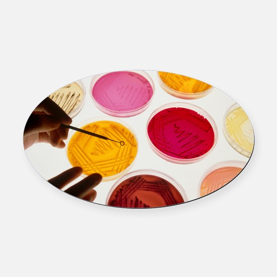 Petri dish bacterial cultures, pic Oval Car Magnet