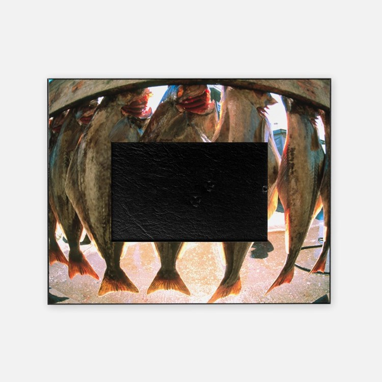 Fish-eye view of a haul of halibut o Picture Frame