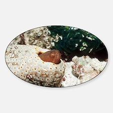 Graceful pearlfish Decal