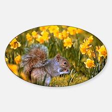 Grey squirrel amongst daffodils eat Sticker (Oval)