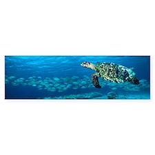 Hawksbill turtle Bumper Sticker
