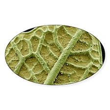 Nasturtium leaf, SEM Decal