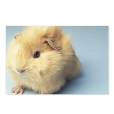 Cream colored Guinea pig Postcards (Package of 8)
