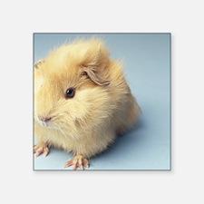"Cream colored Guinea pig Square Sticker 3"" x 3"""