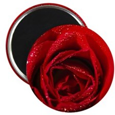 close-up of a red rose Magnet