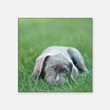 "Blue eyed puppy resting on  Square Sticker 3"" x 3"""