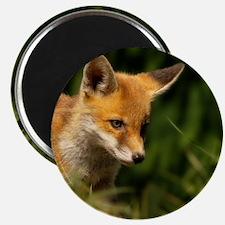 A young Red Fox cub peering through a gap i Magnet