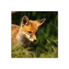 "A young Red Fox cub peering Square Sticker 3"" x 3"""