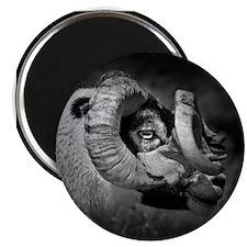Black and white image of ram, UK. Magnet