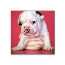 "Close up of white bulldog p Square Sticker 3"" x 3"""