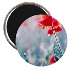 Field of red poppies in flower with early m Magnet