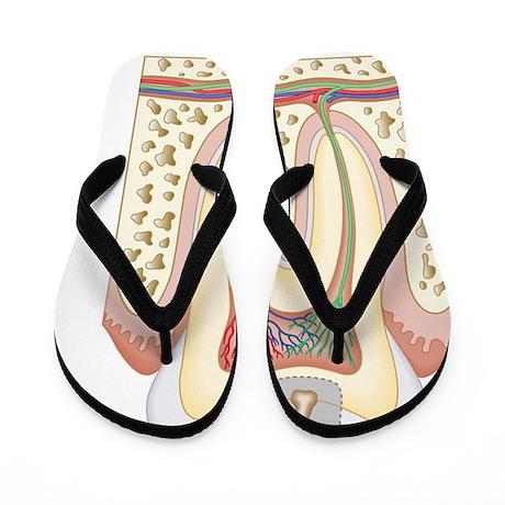Cross section biomedical illustration o Flip Flops