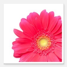 """Pink gerbera daisy isola Square Car Magnet 3"""" x 3"""""""
