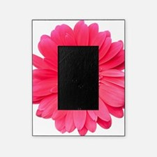 Pink gerbera daisy isolated on white Picture Frame