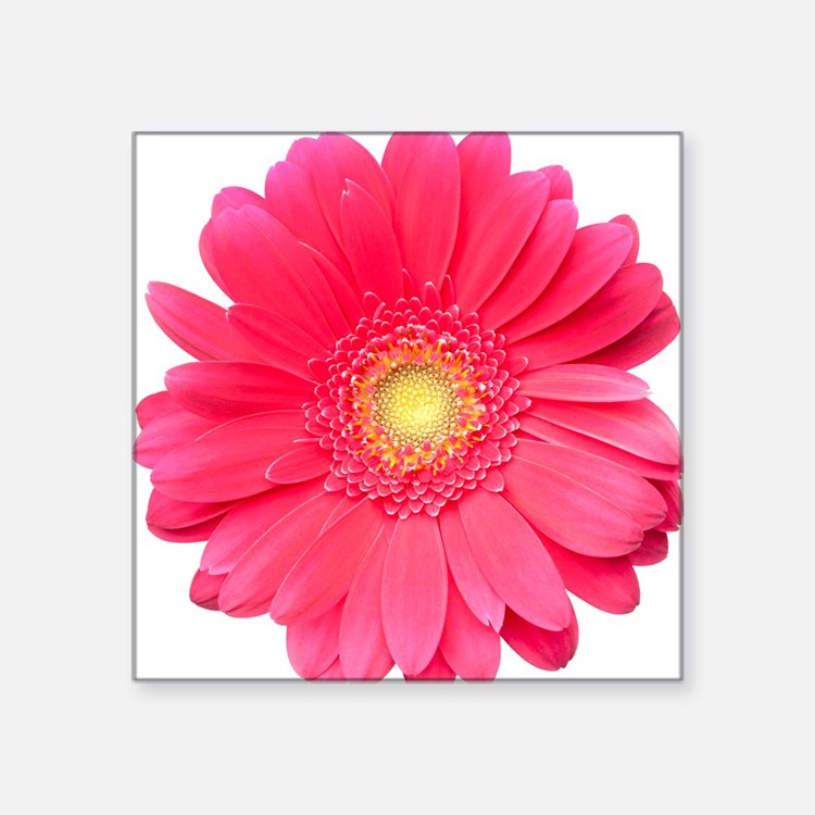 "Pink gerbera daisy isolated Square Sticker 3"" x 3"""