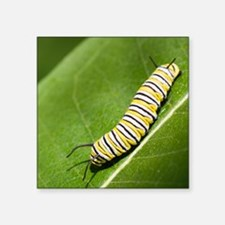 """Monarch butterfly caterpill Square Sticker 3"""" x 3"""""""