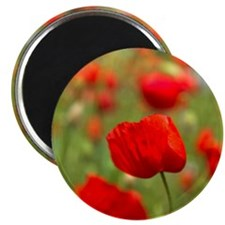 Red poppies in cornfield, France Magnet