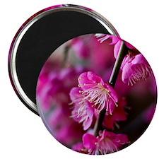 Plum blossoms. Magnet