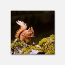 "Red squirrel eating nuts in Square Sticker 3"" x 3"""