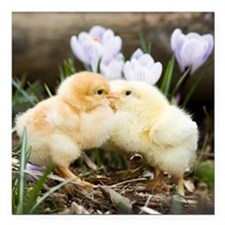 "Two yellow baby chicks k Square Car Magnet 3"" x 3"""