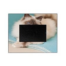 White sacred birman cat with blue ey Picture Frame