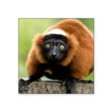 "Red Ruffed Lemur Square Sticker 3"" x 3"""