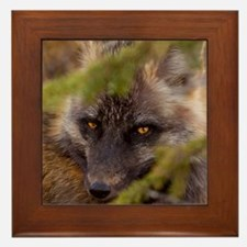 Penetrating gaze of an alert red fox g Framed Tile