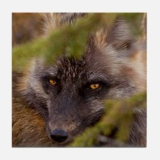 Penetrating gaze of an alert red fox  Tile Coaster