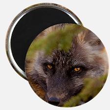Penetrating gaze of an alert red fox genus  Magnet
