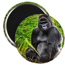 An HDR image of a male silver back gorilla  Magnet