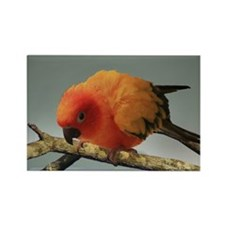 Sun Conure Rectangle Magnet