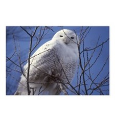Snowy White Owl Postcards (Package of 8)