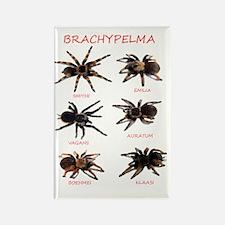 Brachypelma Rectangle Magnet