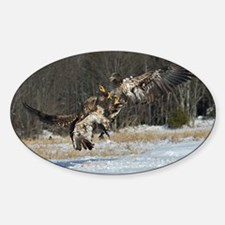 fighting immature eagles Decal