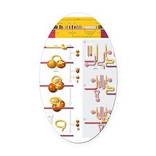 Gene splicing, diagram Oval Car Magnet