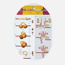 Gene splicing, diagram Oval Ornament
