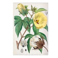 Pima cotton flowers, 19th Postcards (Package of 8)