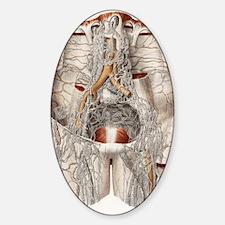 Circulatory system, 19th Century ar Decal