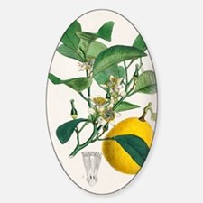 Bergamot orange, 19th century Decal