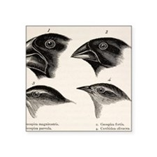 """Darwin's Galapagos Finches Square Sticker 3"""" x 3"""""""