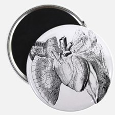 Heart and lung anatomy, 17th century Magnet