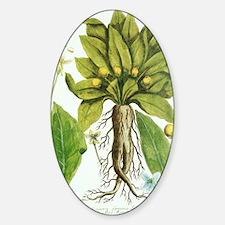 Mandrake plant, historical artwork Decal