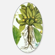 Mandrake plant, historical artwork Sticker (Oval)