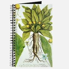 Mandrake plant, historical artwork Journal