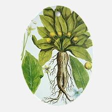 Mandrake plant, historical artwork Oval Ornament