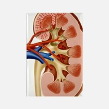 Kidney anatomy, artwork Rectangle Magnet