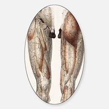 Leg anatomy, 19th Century illustrat Decal