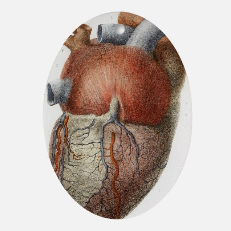Heart anatomy, 19th Century illustra Oval Ornament