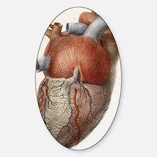 Heart anatomy, 19th Century illustr Decal